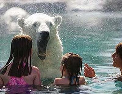 В бассейне с белыми медведями. Кокрэйн. Фото