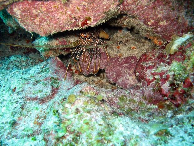 Лайтхайз-риф. Колючий омар. Фото