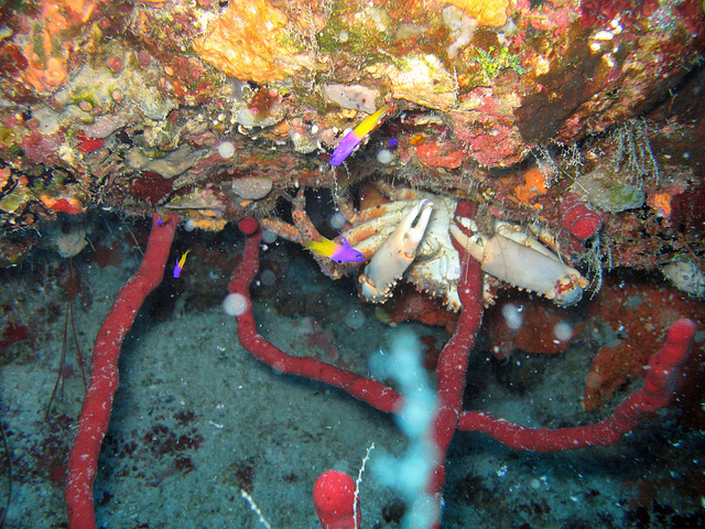 Лайтхауз-риф. Разноцветный краб. Фото