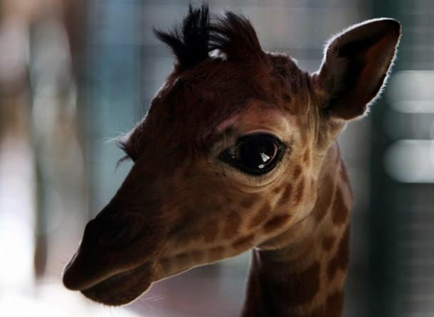 Самый маленький детеныш жирафа. Фото