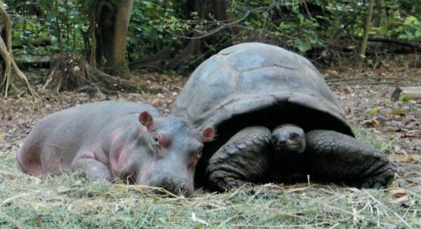 Дружба животных. Бегемотик и большая черепаха