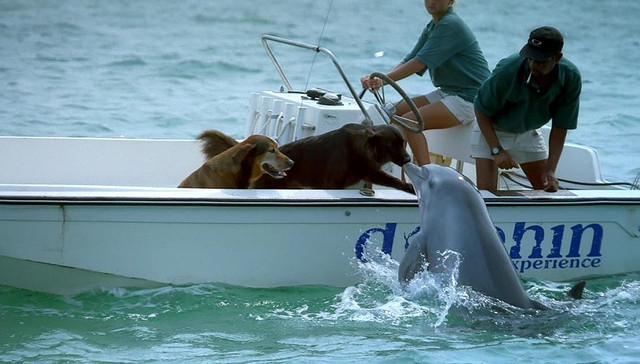 Дружба животных. Дельфин заигрывает с собаками