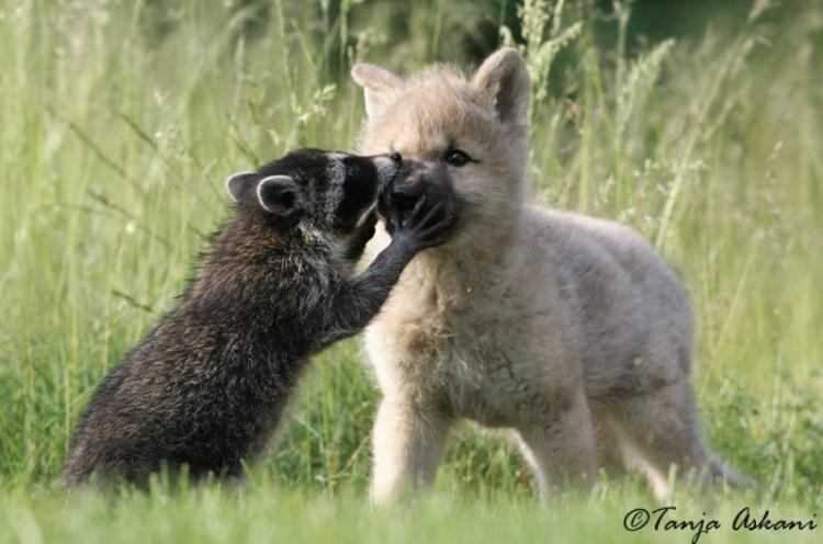 Дружба животных. Енот и щенок