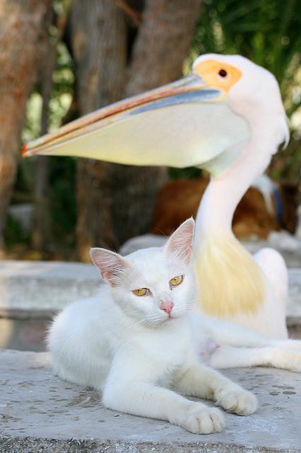 Дружба животных. Кот и пеликан