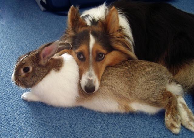 Дружба животных. Колли и кролик