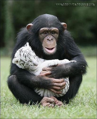 Дружба животных. Шимпанзе с тигренком