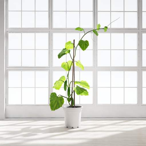 Chocofur_Cucumber_Plant
