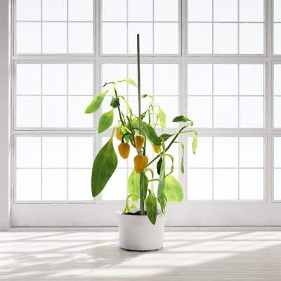 Chocofur_Paprika_Plant