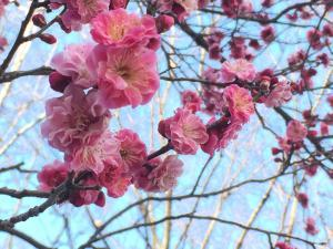 上田城跡公園 梅の花