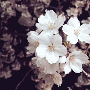 上田城千本桜まつり 桜