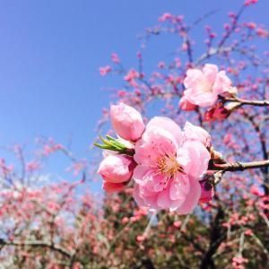 余里の花桃
