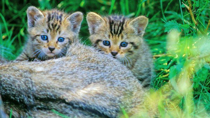 Wildkatze jetzt auch im Wendland nachgewiesen