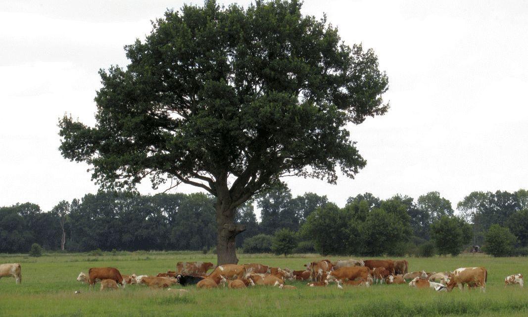 Junge Riesen für das Amt Neuhaus: Landkreis sucht Standorte für freistehende Eichen