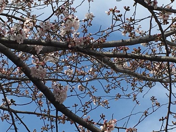 くるりん、おばあちゃんと桜の花びらを拾って喜ぶ