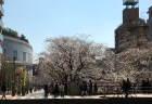 八分咲きの桜