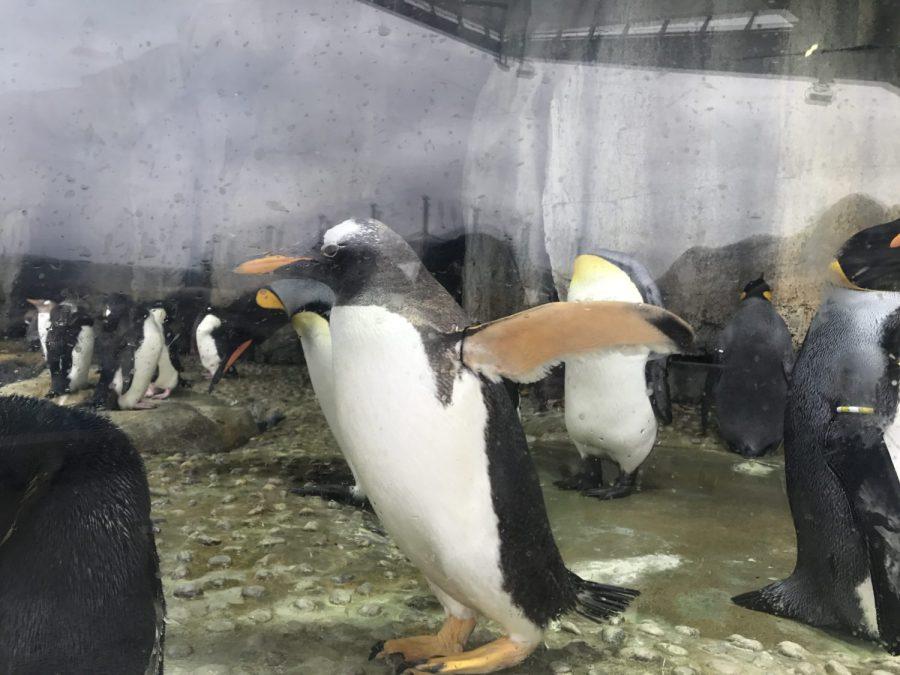 夏休みの仙台うみの杜水族館(第6話)「王様ペンギン」の大きさは意外だったけど、くるりんはクラゲを追いかけて満足