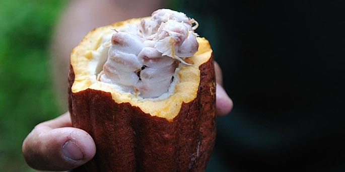 cacao du perou