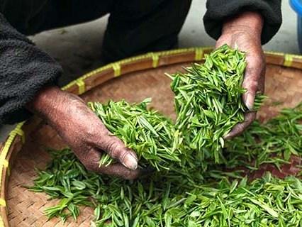 Листа от зелен чай