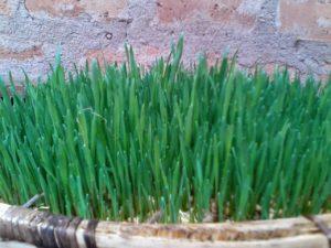 IMG 20150301 WA0008 300x225 - Uandaaji wa chakula cha mifugo kwa njia ya hydroponics fodder