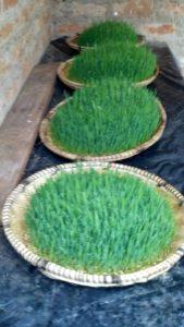 IMG 20150305 WA00003 169x300 - Uandaaji wa chakula cha mifugo kwa njia ya hydroponics fodder