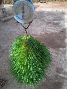 IMG 20150305 102049 225x300 - Uandaaji wa chakula cha mifugo kwa njia ya hydroponics fodder