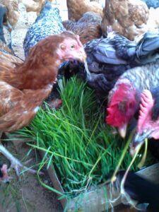 IMG 20150305 103045 225x300 - Uandaaji wa chakula cha mifugo kwa njia ya hydroponics fodder