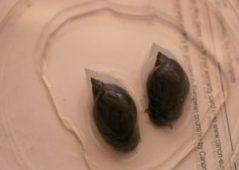 Snail1 300x214 - Namna bora ya kupamabana na maambukizi ya minyoo bapa (Trematodes) kwa mifugo