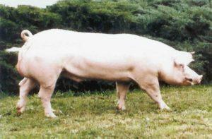 Landrace M 300x197 - Ufugaji Bora wa Nguruwe hatua kwa hatua