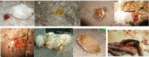 Cocidiosis - Kuharisha damu kwa kuku (coccidiosis):