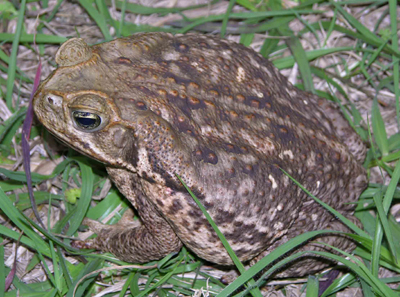 Cane Toad by Steve A. Johnson