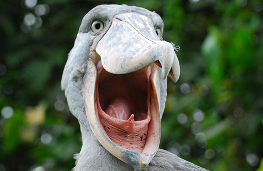 shoebill safari in Uganda