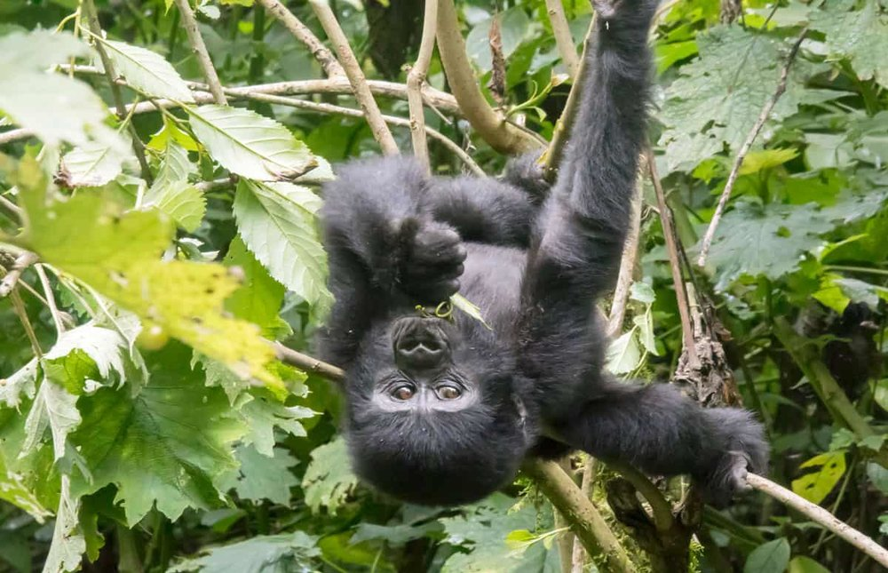 rsz_facts-about-uganda-gorillas