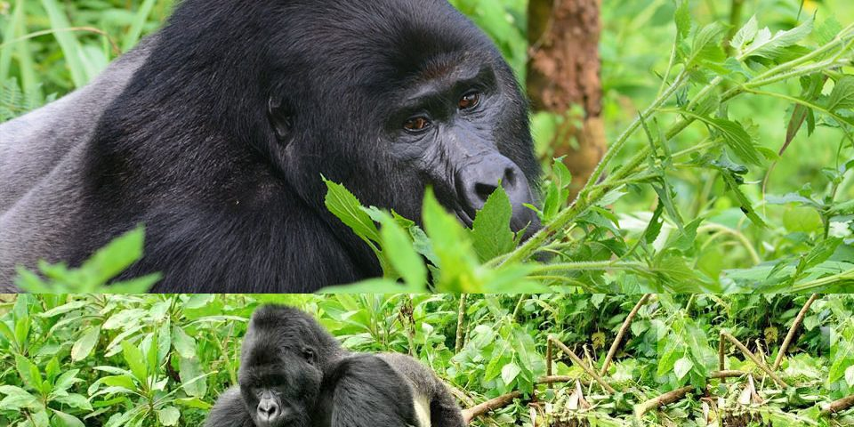 Bwindi Or Mgahinga? Where to go for your Uganda Gorilla Safari