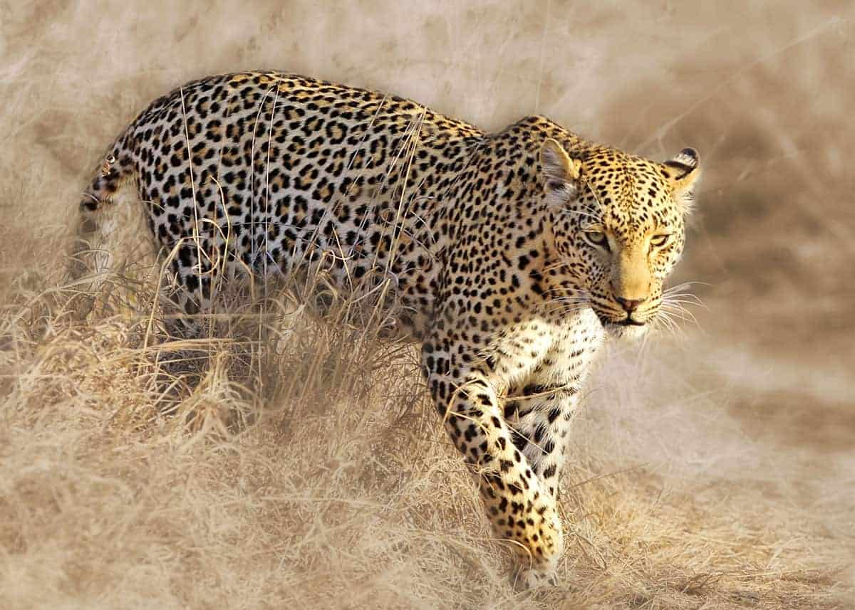 33 african leopard facts