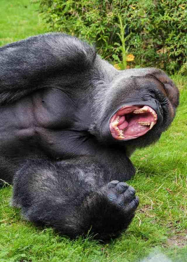 Silverback Gorilla strength