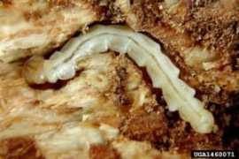 EAB larvae David Cappaert, Michigan State University