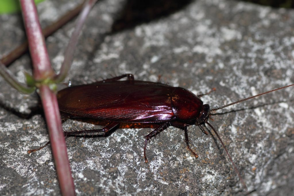Do you recognize this cockroach and know how to control it?