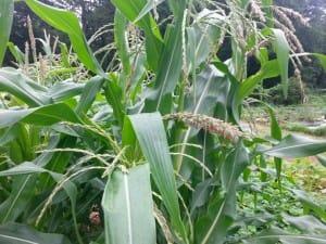 Corn Tasseling
