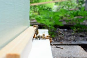 Honey Bees - Jeff Martin photographer