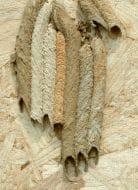 Pipe Organ Mud dauber Nest, Wikipedia, User: Pollinator