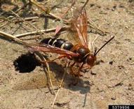Cicada killer - Jessica Lawrence, NC State Entomology Department, Bugwood.org