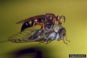 Cicada-killer-Ronald-F.-Billings-Texas-Forest-Service-Bugwood.org_-300x200