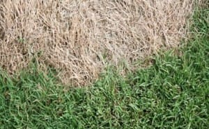 Figure 2 Sharp edges between dead and healthy grass are observed once turfgrass greens up in spring.