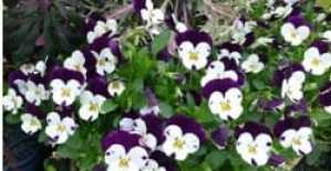 Pansies and Violas: Getting the Most Out of Winter Color Beds