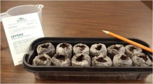 Seed tray with pellets made of peat moss. The pellets expand with the addition of water. - photo by Amy Whitney