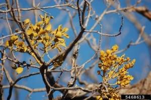Mistletoe - Joy Viola, Northeastern University, Bugwood.org