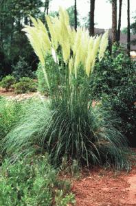Dwarf pampas grass Image - Jeff Webb