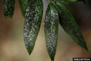 Aphids are Pests in the Georgia School or Community Garden