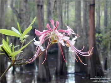 Piedmont azalea (Rhododendron canescans)