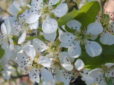 Flowering Pear 2